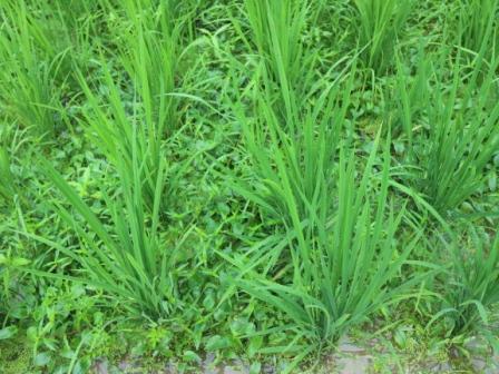 稲の周りの雑草