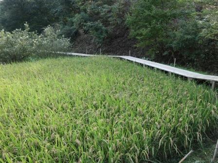 田んぼ 稲刈り前 水田