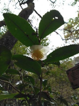 茶の花 八王子館町 緑地保全地域